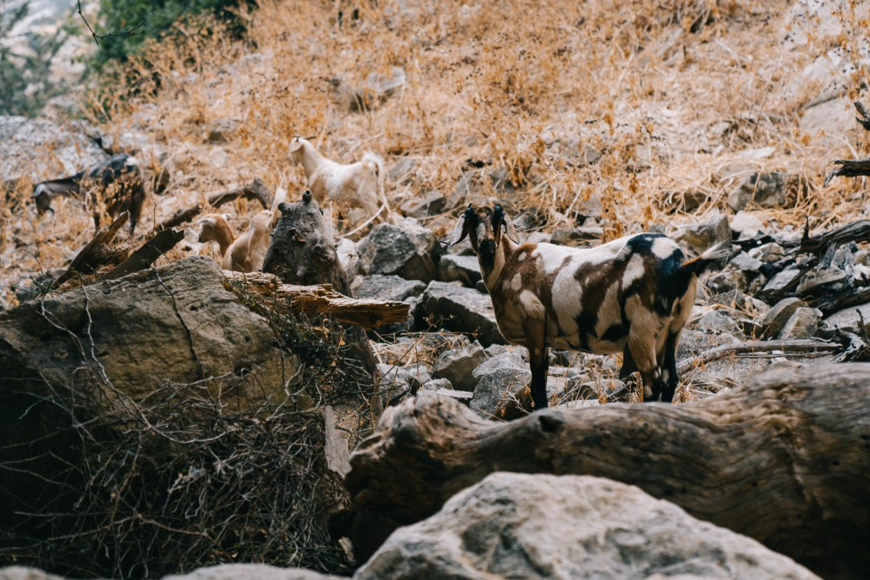 Cyprus road trip, Turkey. Avakas Gorge, canyon goats