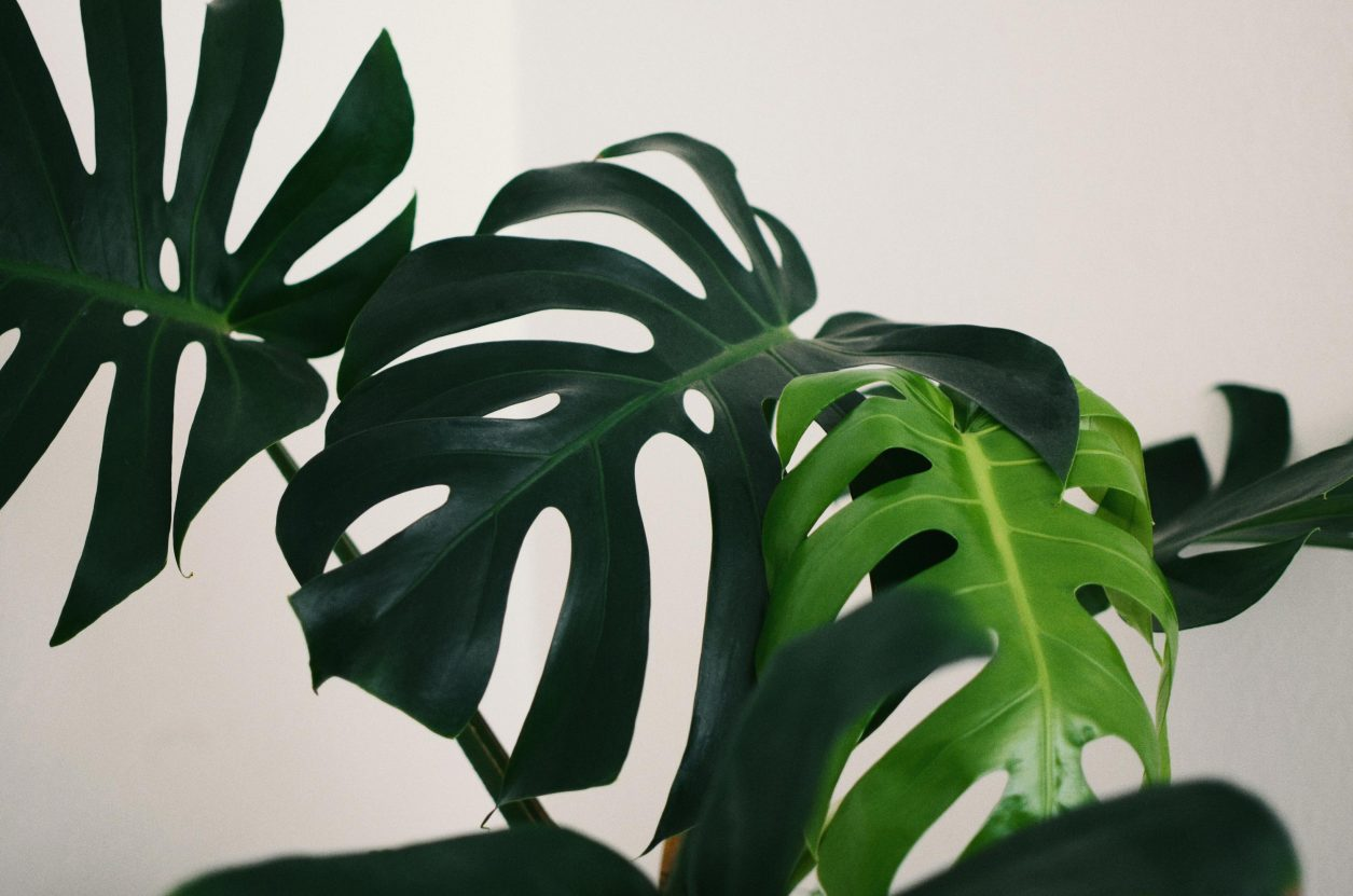 Top 5 Zimmerpflanzen für zuhause - Monstera